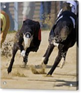 Battle Of The Racing Greyhounds At The Track Acrylic Print
