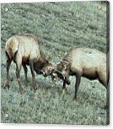 Battling Elk Acrylic Print