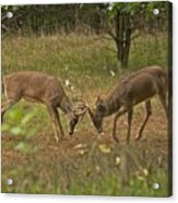 Battling Whitetails 0102 Acrylic Print by Michael Peychich