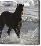 Bay Andalusian Stallion In The Surf Acrylic Print