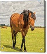 Bay Pony Acrylic Print