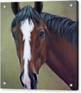 Bay Thoroughbred Horse Portrait Ottb Acrylic Print