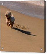 Beach Puppy Acrylic Print