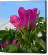 Beach Rose Acrylic Print