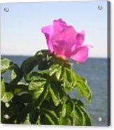 Beach Rose Acrylic Print