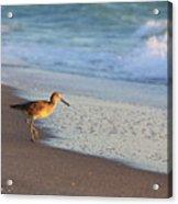Beachcomer Acrylic Print