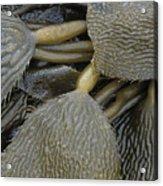 Beached Kelp Acrylic Print