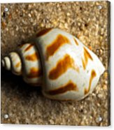 Beached Shell Acrylic Print