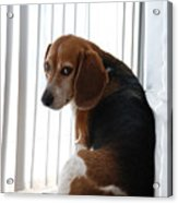 Beagle Attitude Acrylic Print