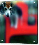 Beagle Beba Portrait Acrylic Print