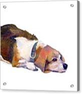 Beagle Thoughts Acrylic Print