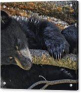 Bear Cub 2 Acrylic Print