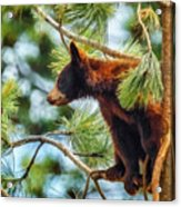 Bear Cub In A Tree 3 Acrylic Print