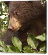 Bear Cub In Apple Tree1 Acrylic Print
