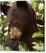 Bear Cub In Apple Tree2 Acrylic Print