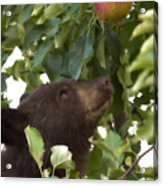 Bear Cub In Apple Tree4 Acrylic Print