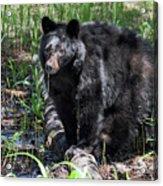 Bear Cub In Whistler Acrylic Print