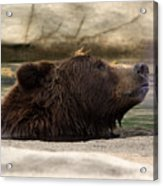 Bear Dip Acrylic Print