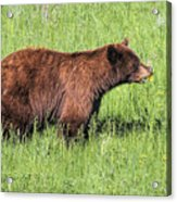 Bear Eating Daisies Acrylic Print