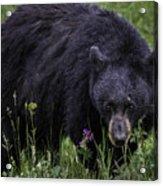 Bear Gaze Acrylic Print