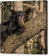Bear In Tree Acrylic Print
