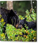 Bear Kisses Acrylic Print