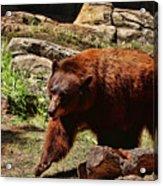 Bear Pacing Acrylic Print