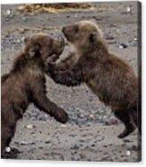 Bear Play Acrylic Print