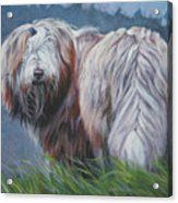 Bearded Collie In Field Acrylic Print