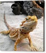 Bearded Dragon Acrylic Print