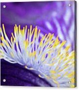 Bearded Iris Macro Acrylic Print