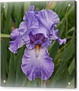 Bearded Iris Acrylic Print