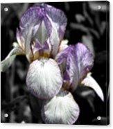 Bearded Irises Partial Color Acrylic Print