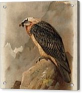 Bearded Vulture By Thorburn Acrylic Print