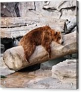 Bearly Relaxing Acrylic Print
