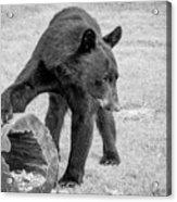 Bear's Log Stash Of Treats - Black And White Acrylic Print