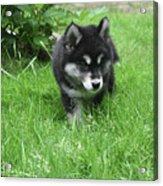Beautiful Alusky Puppy Dog Walking Through Thick Green Grass Acrylic Print