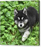 Beautiful Alusky Puppy Peaking Out Of Green Foliage Acrylic Print