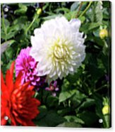 Beautiful And Fresh Dahlias In The Butchrt  Gardens,vancouver Island 1. Acrylic Print