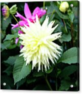 Beautiful And Fresh Dahlias In The Butchrt  Gardens,vancouver Island 2. Acrylic Print