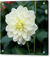 Beautiful And Fresh Dahlias In The Butchrt  Gardens,vancouver Island 3. Acrylic Print