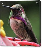 Beautiful Anna's Hummingbird On Perch Acrylic Print