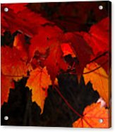 Beautiful Backlit Autumn Maple Leaves Acrylic Print