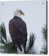 Beautiful Bald Eagle Acrylic Print