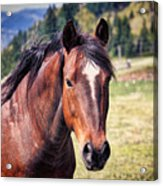 Beautiful Bay Horse In Pasture Acrylic Print