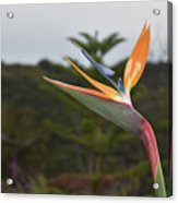 Beautiful Bird Of Paradise Flower In A Tropical Garden  Acrylic Print