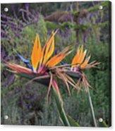 Beautiful Bird Of Paradise Flower In Bloom Acrylic Print