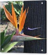 Beautiful Bird Of Paradise Flower In Full Bloom  Acrylic Print