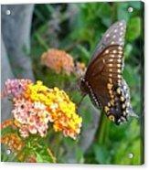 Beautiful Black Swallowtail Butterfly Acrylic Print
