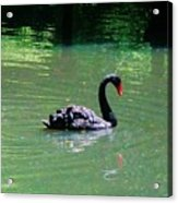 Beautiful Black Swan  Acrylic Print